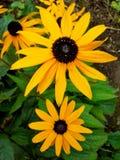 Rudbeckia/Svart-synade Susan Flower Arkivfoto