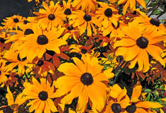 Rudbeckia - svart synade Susan Flowers Arkivbild