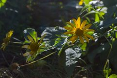Rudbeckia Trädgårds- orange blomma Blomning i sommar arkivfoto
