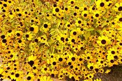 Rudbeckia triloba Stock Photography