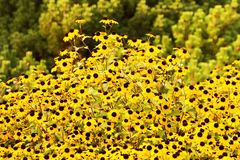 Rudbeckia triloba Royalty Free Stock Images