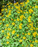 Rudbeckia triloba yellow flowers (browneyed Susan, brown-eyed Su. San, thin-leaved coneflower, three-leaved coneflower Royalty Free Stock Photos