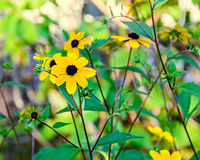 Rudbeckia triloba yellow flowers (browneyed Susan, brown-eyed Su Royalty Free Stock Photo