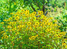 Rudbeckia triloba yellow flowers Royalty Free Stock Photo
