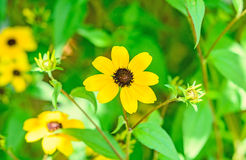 Rudbeckia triloba yellow flowers Stock Photo