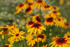 Rudbeckia two-color - Black-eyed Susan. Yellow-orange Rudbeckia with brown centers.The species are commonly called Coneflowers,  Black-eyed-Susans, Leuchtender Royalty Free Stock Image