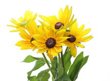 Rudbeckia in a white background Royalty Free Stock Images