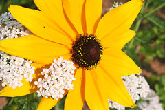 Rudbeckia & Yarrow. A bright yellow rudbeckia surronded by wild white yarrow stock images