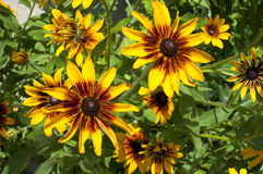 Rudbeckia yellow - black flower. Beautiful, colorful Royalty Free Stock Photography
