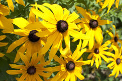Rudbeckia yellow - black flower. Beautiful, colorful Royalty Free Stock Images