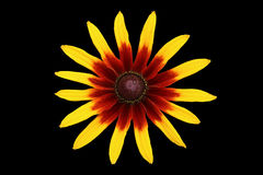 Rudbeckia yellow and dark-red flower isolated on black Royalty Free Stock Images