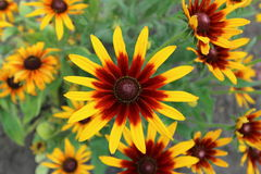 Rudbeckia yellow and dark-red flowers close up Royalty Free Stock Image