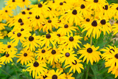 Rudbeckia yellow Stock Photo