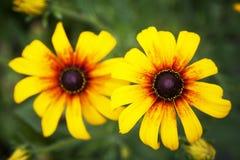 Rudbeckia yellow Stock Images