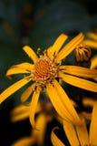 Rudbeckia zwarte eyed Susan op daling stock afbeeldingen