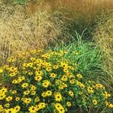 Rudbeckiabloemen die in de de zomertuin bloeien royalty-vrije stock foto's