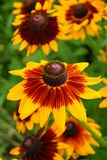 Rudbeckiafulgida op een de zomertuin Stock Afbeelding