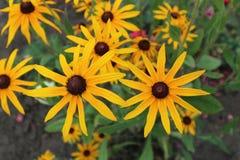 RudbeckiafulgidaGoldsturm blommar den svart synade Susan guld--apelsinen Royaltyfri Fotografi