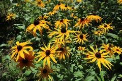 RudbeckiafulgidaGoldsturm svart synade den Susan guld--apelsinen flo Arkivfoto
