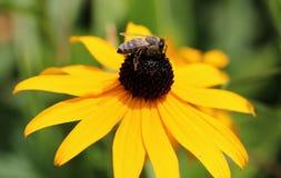 Rudbeckiahirta, gele bloemen en de bijen, macroaardfotografie, groot madeliefje Royalty-vrije Stock Afbeeldingen