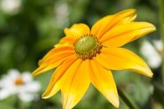 Rudbeckiahirta, gul sommartidblomma Royaltyfri Bild