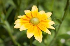 Rudbeckiahirta, gul sommartidblomma Royaltyfri Foto