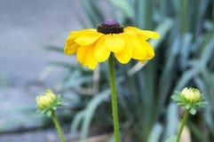 Rudbeckiahirtaen, denSusan blomman med gula kronblad och mörk brunt centrerar arkivfoton