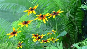 Rudbeckias with Ferns in garden stock video