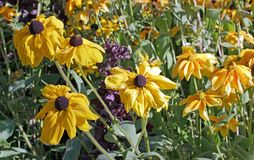 Rudbeckias given thirst by the strong summer heat. Stock Images
