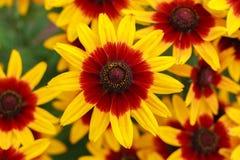 Rudbeckiasummerina in de tuin, lat Rudbeckiahirta Een populaire sierplant Mooie bloemenclose-up bloemen stock afbeelding