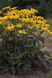 Rudbekia Bush Obrazy Royalty Free
