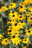 Rudbekia - Early Bird Gold Royalty Free Stock Photography