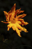 Rudbekia en flammes Photo stock