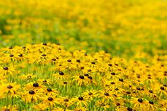 Rudbekia flowers Stock Photos