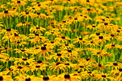 Rudbekia flowers Stock Images