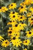 Rudbekia - ouro adiantado do pássaro Fotografia de Stock Royalty Free