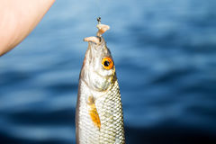 Rudd caught on hook against water and cane Royalty Free Stock Image