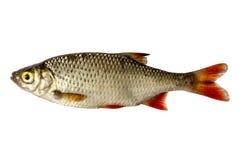 Rudd d'isolement, un genre de poissons du côté Poissons vivants avec les ailerons débordants Poissons de fleuve Photo stock
