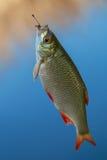 Rudd dei pesci freschi Fotografia Stock Libera da Diritti