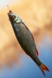 Rudd dei pesci freschi immagini stock libere da diritti
