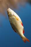 Rudd dei pesci freschi Immagini Stock