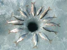 Rudd dos peixes Fotografia de Stock