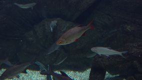 Rudd fish floating under water. 4K video stock video