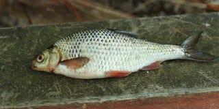 Rudd fish scales Stock Photos