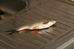 Rudd fisk på vasken, innan att göra ren Royaltyfri Fotografi