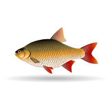 Rudd. Freshwater fish of the carp family. Realistic illustration. Vector Image. Stock Photo