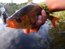 Rudd prédateur sur la rivière photographie stock
