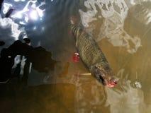 Rudd Scardinius-erythrophthalmus die door vlieg te vissen wordt gevangen royalty-vrije stock afbeelding