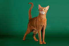 Ruddy abyssinian cat. On black green background stock photos