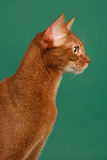 Ruddy abyssinian cat. On black green background royalty free stock photography